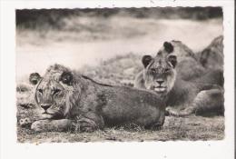 REPUBLIQUE DU DAHOMEY 3731 COUPLE DE LIONS .RESERVE DE PORGA - Dahomey