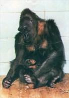 Postcard - Lowland Gorillas At Bristol Zoo. Q2DN - Monkeys