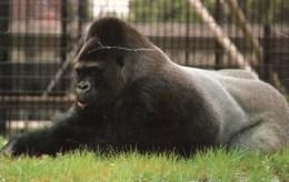 Postcard - Gorilla At London Zoo. R3673 - Monkeys