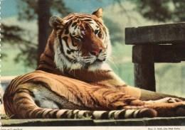 Postcard - Tiger At Longleat. 2EAT26 - Tigers