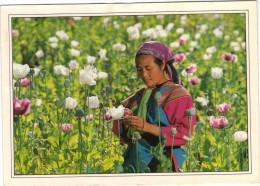 Thailande - Cueilleuse De Pavots - Thaïland