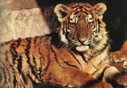 Postcard - Tiger At Stuttgart Zoo. 641Z54 - Tigers