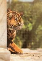 Postcard - Tiger At Stuttgart Zoo. 1145 - Tigers