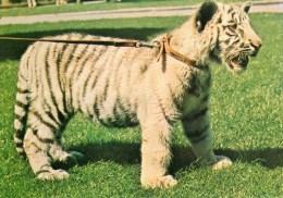 Postcard - White Tiger Cub At Bristol Zoo. Q2CU - Tigers