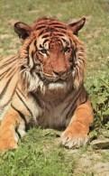 Postcard - Tiger At London Zoo. R7473 - Tigers