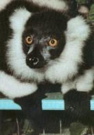 Postcard - Black & White Ruffed Lemur At Kolin Zoo. 6215 - Monkeys