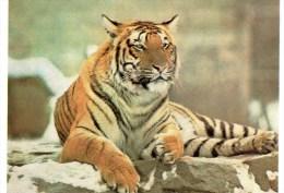Postcard - Tiger At British Museum (Natural History). BN1 - Tigers