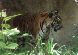 Postcard - Tiger At Garten Zoo. 151 - Tigers