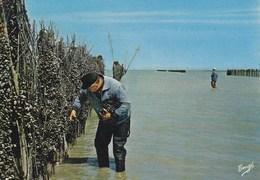 Le Vivier Sur Mer - La Récolte Des Moules Sur Bouchots - Autres Communes