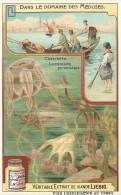 CHROMO LIEBIG - Dans Le Domaine Des Méduses - Charybdée Lucernaire Pyramidale - Série Française N° 938 - Année 1908 - Liebig