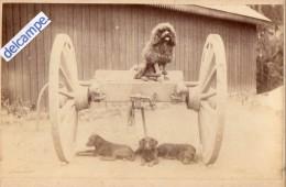 GRANDE  PHOTO  ANCIENNE  -  CHIENS   - Caniche Sur Un Attelage Et 3 Chiens Couchés En Dessous - Photos