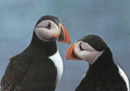 Postcard - Puffins On The Farne Islands. A - Birds