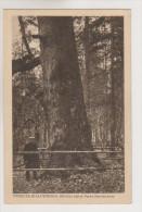Bialowies.500 Years Old Tree.Belorussia. - Russie