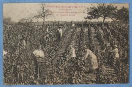 Scène De Vendanges à LANDREVILLE (10110) - France