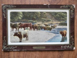 39610 POSTCARD: AGRICULTURE: Cattle. - Farms