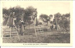 10. LA CUEILLETTE DES OLIVES. FONTVIEILLE. - Fontvieille