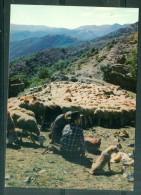 Cpsm Gf -   Troupeau De Moutons Au Repos Avec Leurs Bergers Et Leur Chien  -Lvf32 - Elevage