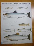 Affiche 60cm X 80cm - Saumon et Truites - Edit�e par le Conseil Sup�rieur de la P�che ao�t 1988 - Dessin de P. Roussia