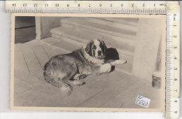 PO0650D# FOTO FORMATO CARTOLINA - CANI S.BERNARDO - DOG - Hunde