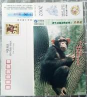 Orangutan - Singes