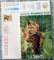 Tiger - Félins