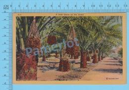 CPSM, Date Gardens ( Date Palms Grove On The Desert ) Linen Postcard Recto/Verso - Fleurs, Plantes & Arbres