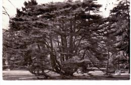 Montmorency - Cèdre Du Liban - Montmorency