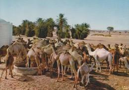 SAHARA ESPAÑOL (SAHARA OCCIDENTAL). SMARA. Llegada Al Pozo. - Dromedarios - Sahara Occidental