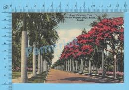 CPSM, Florida ( Royal Poinciana Tree, Amidst Majestic Royal Palms ) Linen Postcard Recto/Verso - Fleurs, Plantes & Arbres