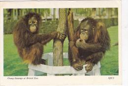BRISTOL Z00 -ORANG OUTANGS. - Monkeys