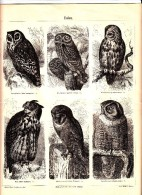 Ca 1890 OWL BIRDS Antique Engraving Print - Old Paper