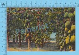 CPSM, Florida ( A Papaya Plantation In Florida.) Linen Postcard Recto/Verso - Agriculture