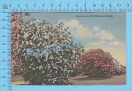 CPSM, Florida ( Oleanders In Full Bloom In Florida ) Linen Postcard Recto/Verso - Fleurs, Plantes & Arbres