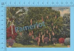 CPSM, Florida (  A Sausage Tree In Florida, Cover Hollywood 1957 Fl  ) Linen Postcard Recto/Verso - Fleurs, Plantes & Arbres