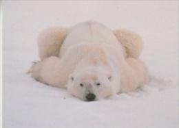 Polar Bear Postcard Unused (20008J) - Beren