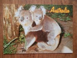 42008 POSTCARD: AUSTRALIA: Koalas. - Other