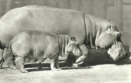 HIPPOPOTAMUS * BABY HIPPO * ANIMAL * ZOO & BOTANICAL GARDEN * BUDAPEST * KAK 0203 691 * Hungary - Flusspferde