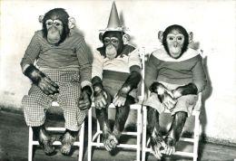 """N°42486 -cpsm St Jean Cap Ferrat- """"Ridi's- Chimpanzées- - Singes"""