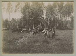 (Elevage) Vaches Paissant Dans Un Pré. Chien. Vers 1900. - Métiers
