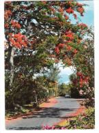 Mauritius - Ile Maurice - Flamboyants - The Flametrees - Mauritius