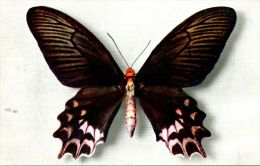 N°42641 -cpsm  Papilio Semperi - Papillons