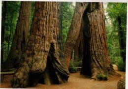 Avenue Of The Giants, Humboldt Redwoods State Park, Goose Pens - USA National Parks