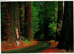 Avenue Of The Giants, Humboldt Redwoods State Park, Redwood - USA National Parks