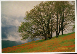 Coast Redwoods, National And State Parks, Oregon White Oak, Quercus Garryana - USA National Parks