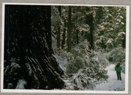 Coast Redwoods, National And State Parks, Snowfalls - USA National Parks