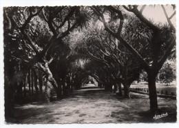 Alg�rie--ALGER--Jardin d'Essai,All�e des Dracoeng Draco,cpsm 15 x 10 n� 128 �d  Jomone