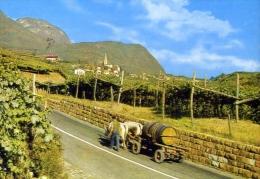 Caldoro Presso Bolzano - Kalten Dei Bozen - Raccolta Dell'uba - 101 - Formato Grande Viaggiata - Bolzano (Bozen)