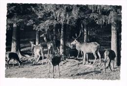 28803 ( 2 Scans ) Cerf - Deer - Hert - Animals