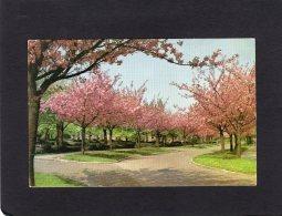 """52651    Belgio,  Boitsfort: """"Le Logis"""",  Cerisiers  En Fleurs,  VG - Foreste, Parchi, Giardini"""