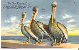 """The Pelican Is One Of The Strangest And Most Amusing Birds Of The South  """"The Three Musketeers"""" - Birds"""
